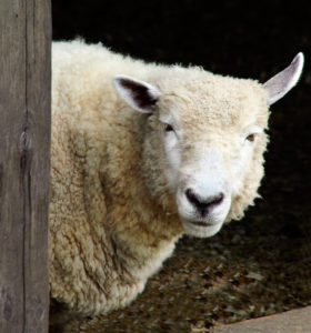 Vitamin D3 benefits from sheep's wool
